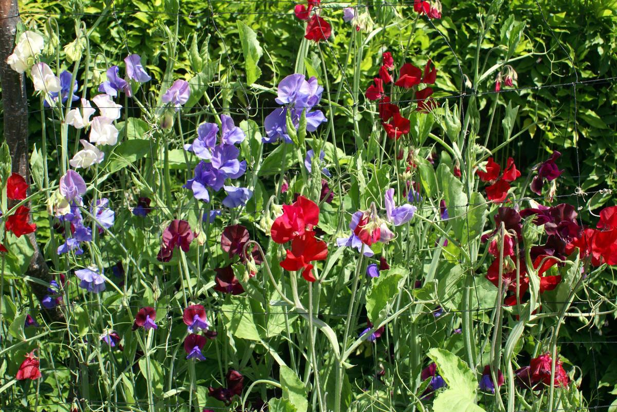 Как вырастить душистый горошек — любимый цветок английских садоводов